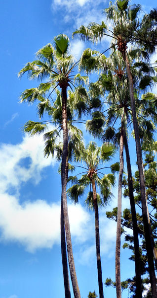 tall fan palms: tall Chinese fan palm trees