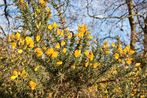 flores tojo selvagens inglaterra ingls leguminosae ulex amarelo arbusto arbusto brilhante campo carqueja espinhoso espinhoso flores