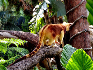 PNG tree kangaroo4: rare and endangered Goodfellow's tree kangaroo from Papua New Guinea