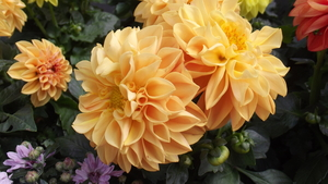 Dahlia Mix: Small Compact Annual