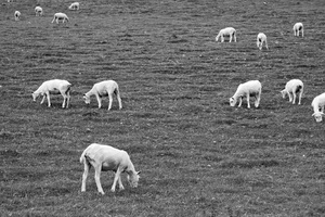 Sheep B/W: Shorn sheep grazing in Pembrokeshire, Wales.