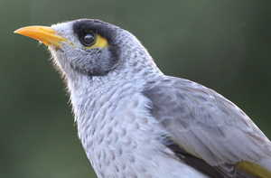Noisy Miner 4: A close up of the native Australian bird - often confused with the introduced Indian Mynah. You may like: http://www.rgbstock.com/photo/paVfHQw/ or http://www.rgbstock.com/photo/pLwxmcW/