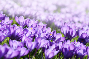 Sunny crocusses: Purple crocusses