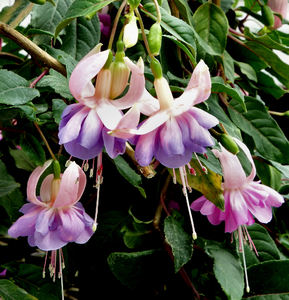 fuchsia features4: flowering fuchsia shrub