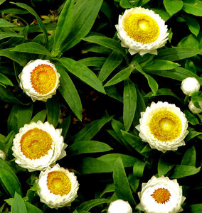 poached egg daisy1: Australian yellow & white everlasting daisies resembling poached eggs
