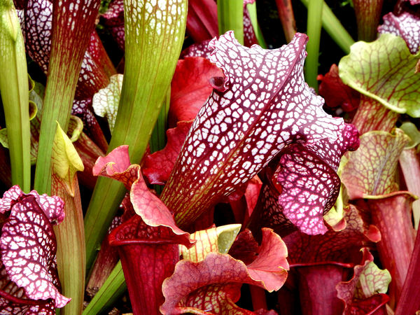 carnivorous plants9: Singaporean pitcher plant colours and varieties