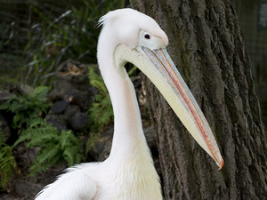 Great white pelican: Great white pelican (Pelecanus onocrotalus, eastern white pelican) in a zoo in England at which photography was freely permitted.