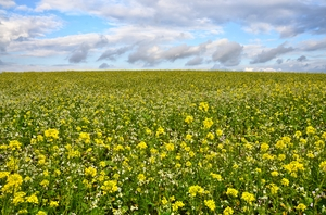 walk trough the mustard fields