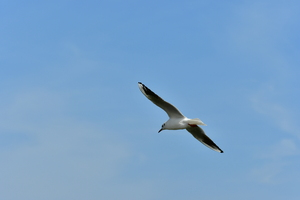 Sea Gull in Flight