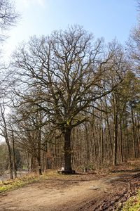 tall oak tree: This tree is called the Brothers Grimm Oak. Maybe because it was young when they were around