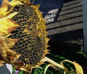Harvest time Sunflower Seeds: Sunflower seeds dried and ready for harvesting. Late Summer