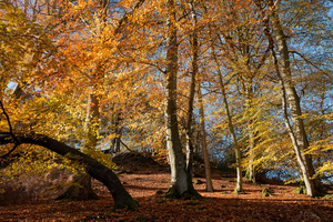Autumn woodland