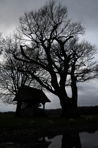 Old tree: the Oak tree in the middle is one of the oldest trees in the Netherlands. It was planted between 1500 and 1600. In this light it looks really spooky. It is a little pilgrimage place for the local people, It is called the 'kroezeboom'