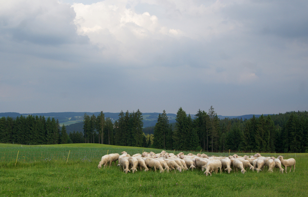 sheep flock 2