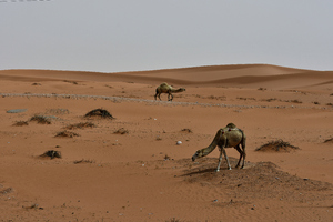 Camels found in the desert