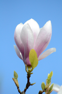 Single magnolia: magnolia against a blue sky
