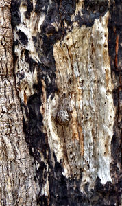 scarred burnt tree trunk1