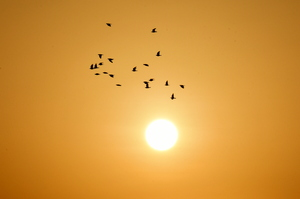 Birds flying at sunrise: Birds are flying over the horizon at sunrise. Desert dunes and desert sand hills are silhouette. Groups of small birds are in flight in the gold color of the sunrise