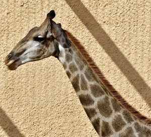 Giraffe of Africa