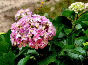 hydrangeas in the garden1