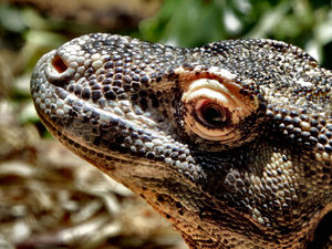 komodo dragon4: tough skinned largest Asian land lizard