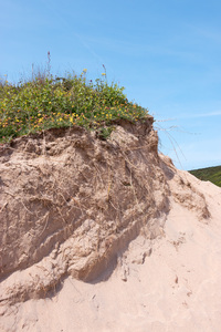Sand dune plants: Plants on coastal sand dunes in Cornwall, England.