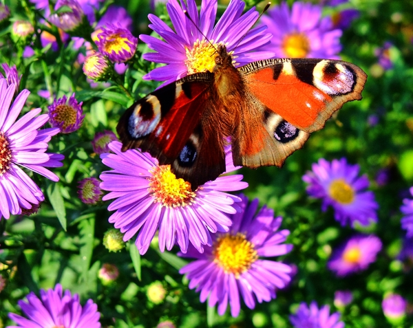 butterfly on aster: butterfly on aster