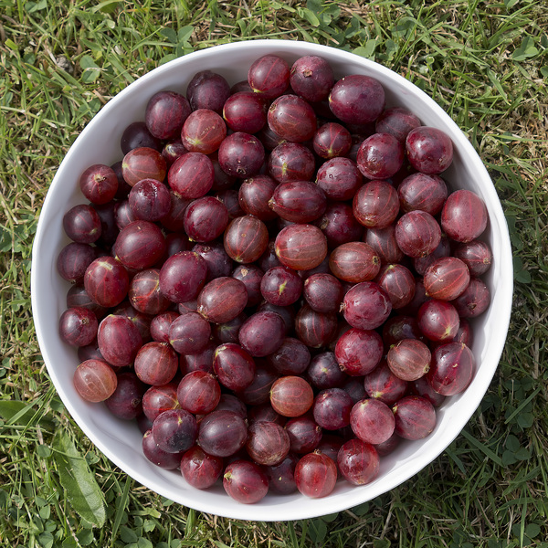 Red gooseberries: Red dessert gooseberries (Ribes uva-crispa) freshly picked, topped and tailed from an allotment in southern England.