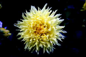 Yellow flower 1: Yellow flower