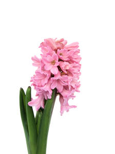 Hyacinth: No description