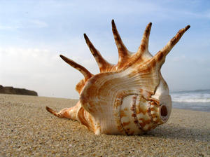 shell on the beach: sea shell on the beach at Mangalore, India.