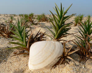 Sea Shell and Grass: Sea Shell and Grass on the sands