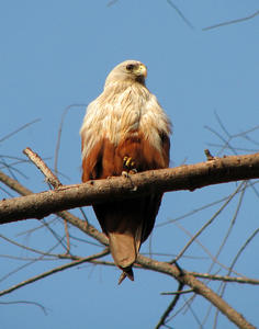 Kite: Brahminy Kite basking in the sun