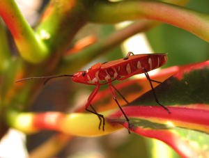 red bug: Red Bug on a leaf, brilliant color.