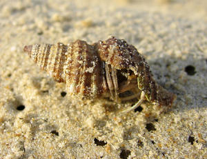 Hermit Crab: Hermit Crab on the sands