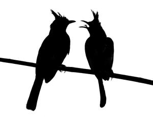 Silhouette of birds: Silhouette of a pair of Bulbuls