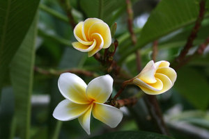 Frangipani: Frangipani flowers in Hainan, China.
