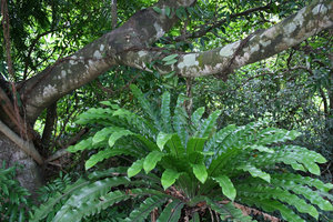 Fern: A large fern growing under the shade of a Ficus tree in Hainan, China.