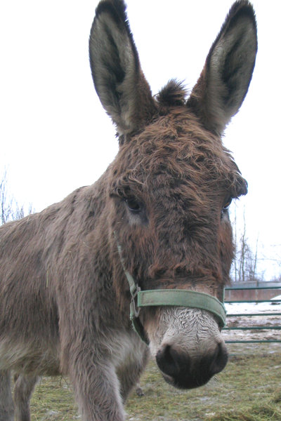 Cute Donkey 1: My friend's donkey -- he's so cute!!Please let me know if you are able to use my pictures for something.Even if it's something small --I would be absolutely thrilled to know if they came in useful for anyone!