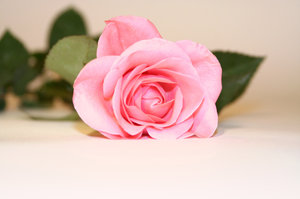 rose: soft pink rose on neutral background