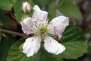 blackberry blossom: blackberry blossom