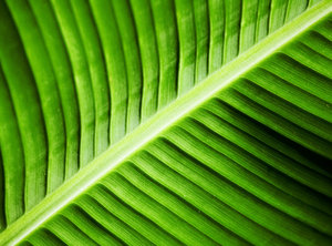 Green veins 2: Close up of a banana leaf