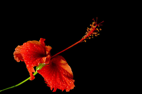 Red hibiscus: Red hibiscus