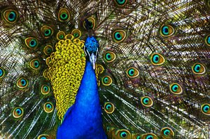 Peacock: bird