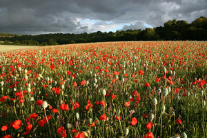 Poppy field: A field of mixed poppies (Papaver) being grown as a crop for pharmaceutical use in Hampshire, England.
