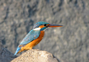 Common Kingfisher: Common Kingfisher