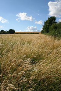 Summer grasses: Wild summer grasses in a meadow in Hampshire, England.