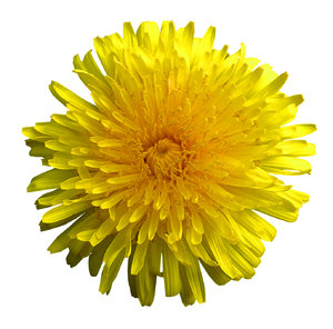 Sunny flower: A sunny dandelion cut-out.Please mail me or comment this photo if you found it useful. Thanks!