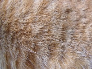 Cat's red fur texture