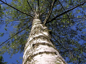 Birch tree: A birch tree. Not very low, if I may be honest. Please mail me or comment this shot if you found it useful - just to let me know!I would be happy to receive the information about picture usage. I would be extremely happy to see the final work even if you